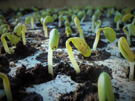 Growing Soy Bean Plants